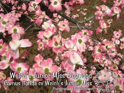 Welch's Junior Miss Dogwood Flowers