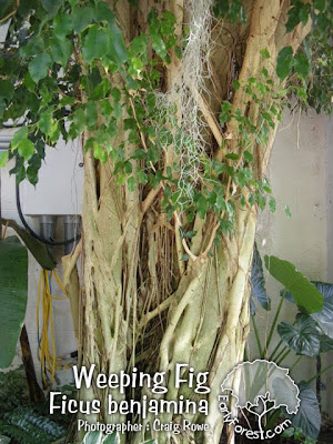 Weeping Fig Bark