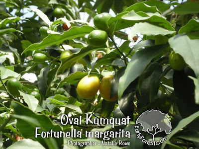 Oval Kumquat Fruit