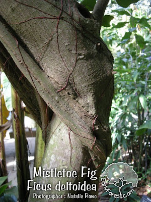 Mistletoe Fig Bark