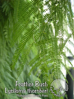 Feather Bush Leaves