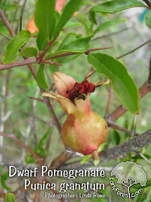 Dwarf Pomegranate Fruit