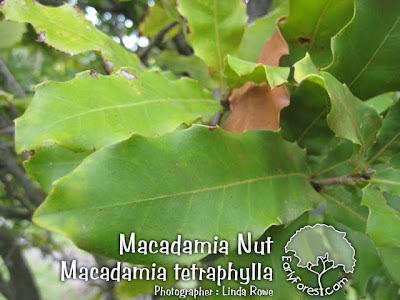 Macadamia Nut Leaf