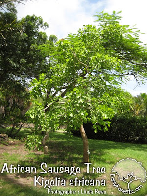 African Sausage Tree