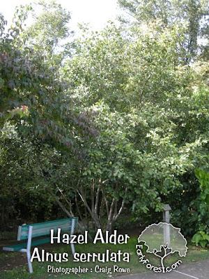 Hazel Alder Tree