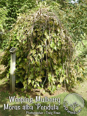 Weeping Mulberry Tree