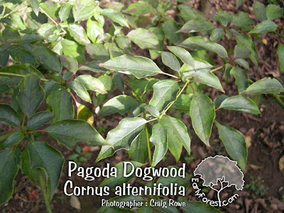 Pagoda Dogwood Leaves