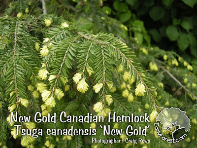 New Gold Canadian Hemlock