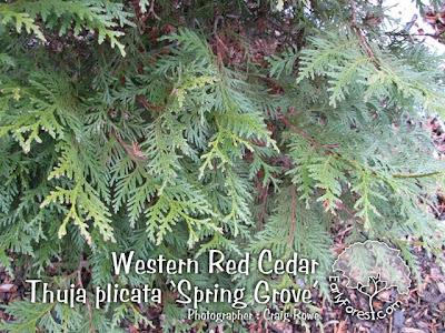 Western Red Cedar Foliage
