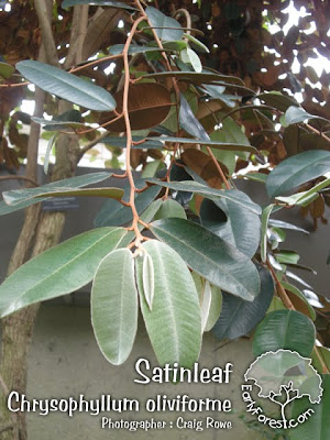 Satinleaf Leaves