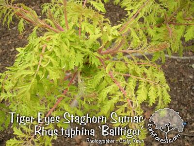 Tiger Eyes Staghorn Sumac Leaves