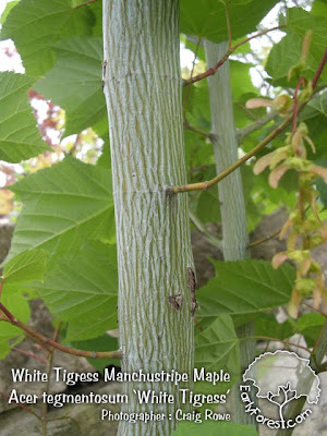 White Tigress Manchustripe Maple Bark