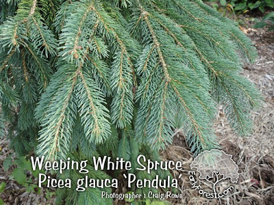 Weeping White Spruce Foliage
