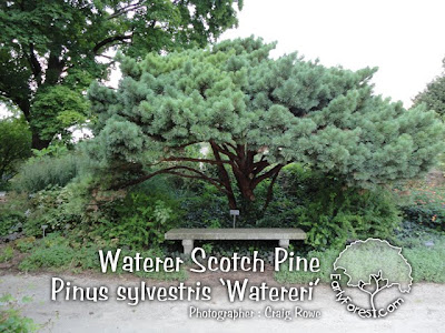 Waterer Scotch Pine Tree