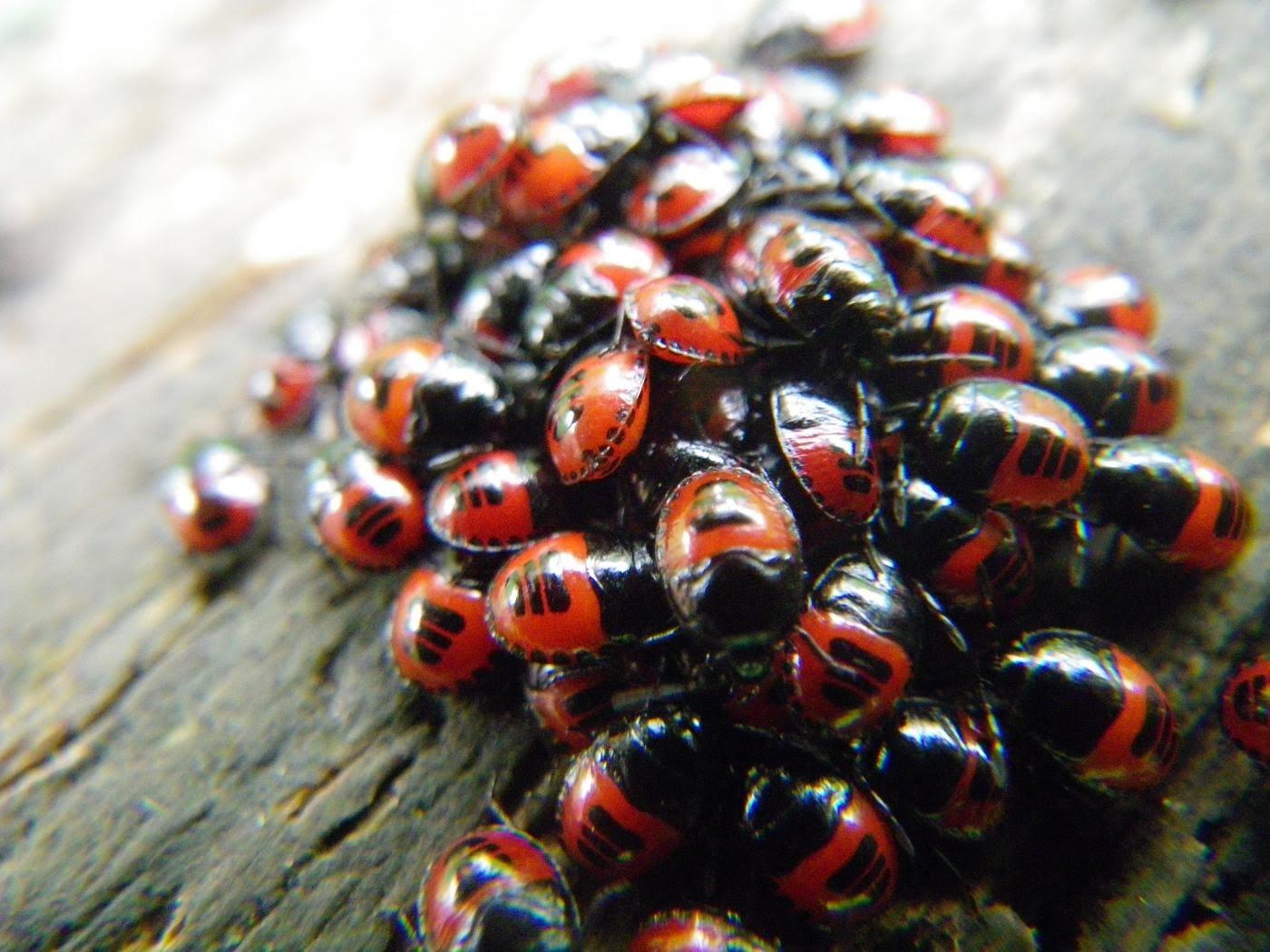 northshorewoman ladybug cluster