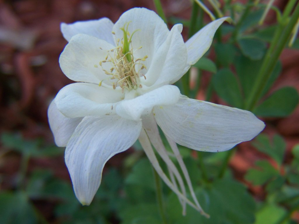 Gardening And Flowers White Columbine Flowers