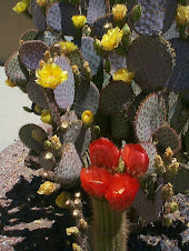 Cacti In Bloom 1