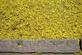 flores, em quedas, dos guapuruvus,