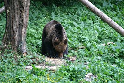 european brown bear romania brasov zizin craiova