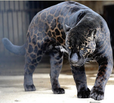 A black jaguar called Boogie walks in his cage at the zoo in Tbilisi,