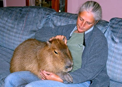R Guinea Pigs Rodents Largest Guinea pig in South