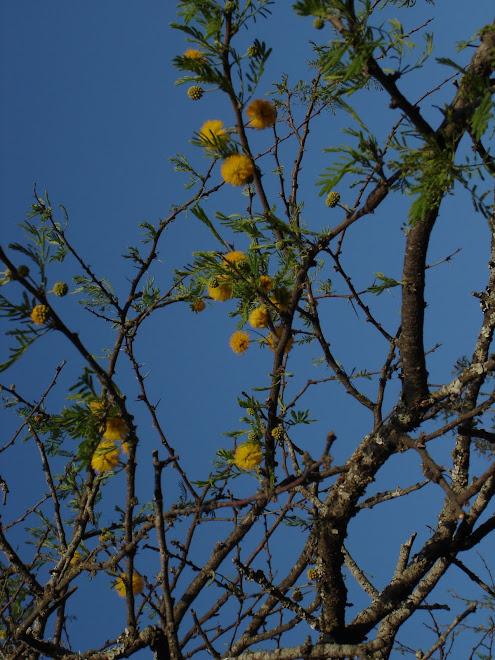 A pesar de la sequía los espinillos siguen floreciendo.