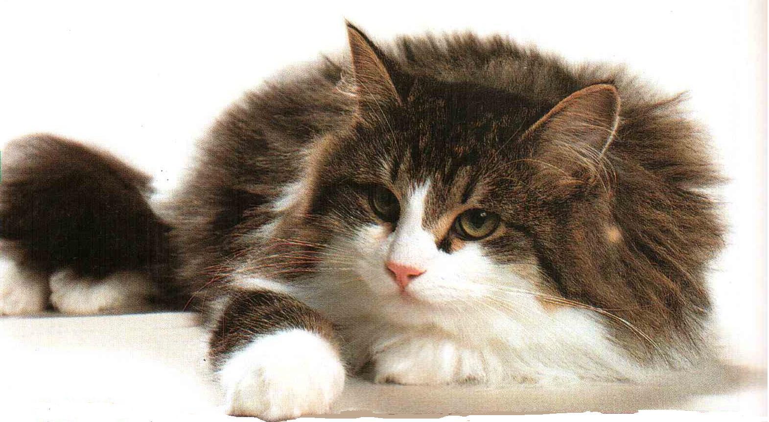 Rumore di fusa il siberiano l unico gatto ipoallergenico - Gatto solo in casa per 15 giorni ...