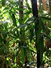 Bamboo 'Alphonse Karr`