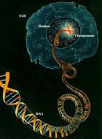 الحمض النووي أو الدي إن أي موجود في نواة كل خلية من خلايا جسدنا وينقل مورثاتنا عن آبائنا وأسلافنا
