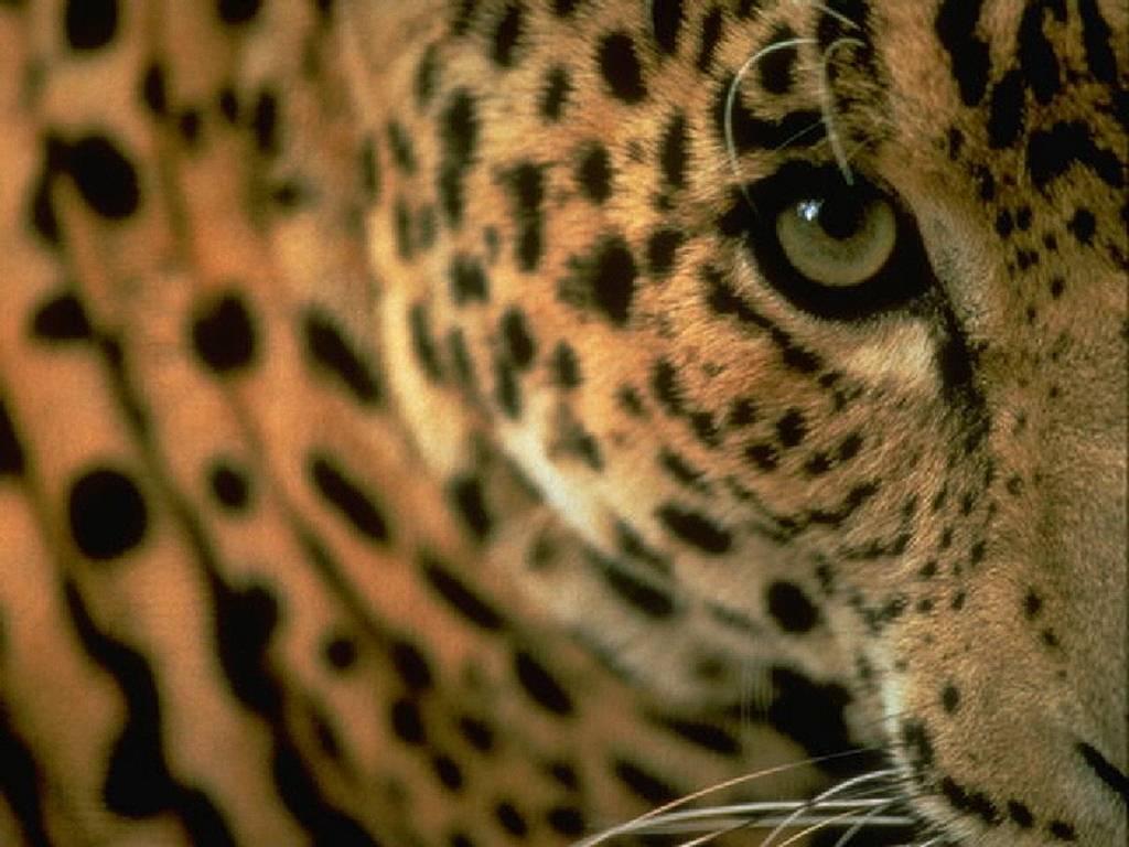http://4.bp.blogspot.com/_UqBFwic85Tw/TNL5GXNEmxI/AAAAAAAAAHY/20X5Cov9zTo/s1600/leopardo_mirada.jpg