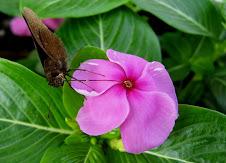 Kupu-kupu dan Tapak Dara