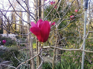 Magnolia x soulangeana?
