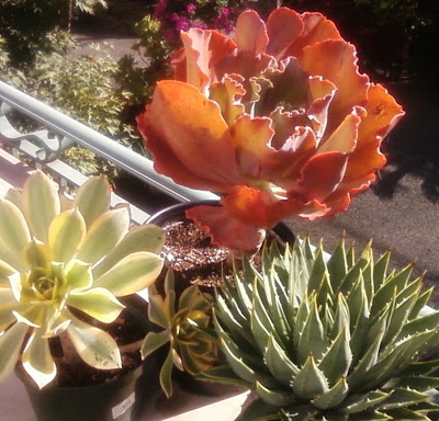 Aeonium, Echeveria and Agave