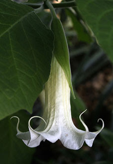a July Plant of the Month, Brugmansia arborea