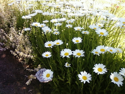 Shasta Daisies in June