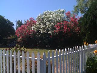 an oleander hedge