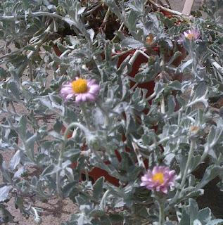 Lassoing filaginifolia var. californica