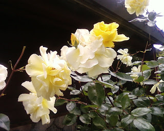 Golden Showers, a climbing rose