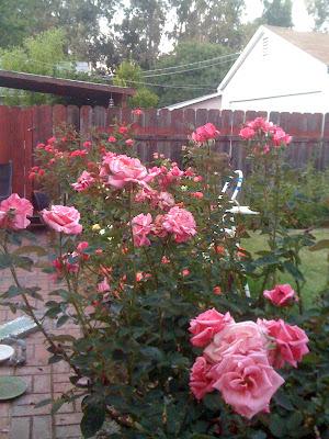 my sister's rose garden