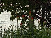 When the Red Hot Pokers were in bloom-June, 2010