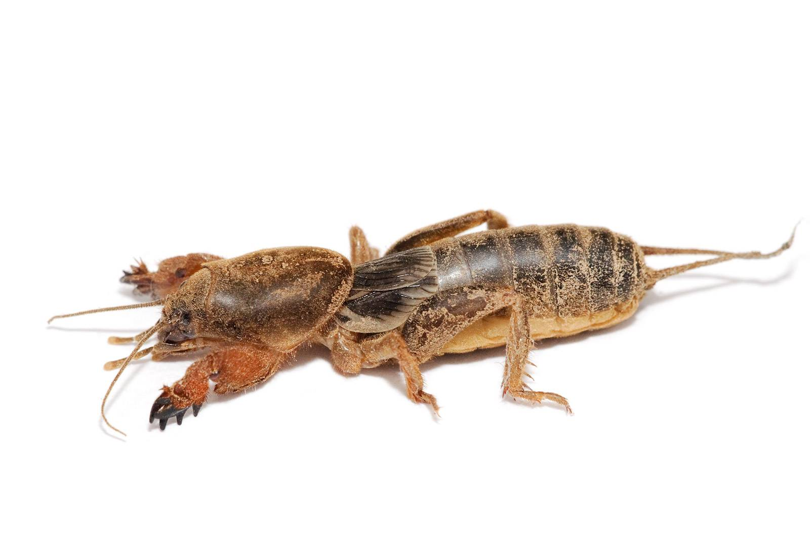 The blog fodder european mole crickets for Fishing with crickets