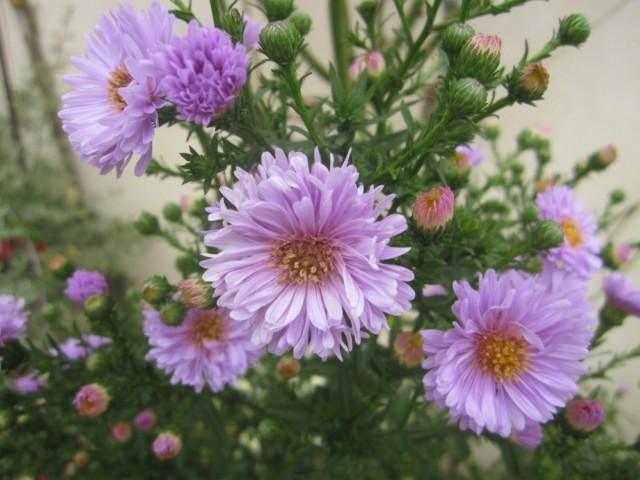flores jardim de verao:São uma beleza no jardim as «despedidas de verão» (aster) .Hoje