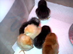 New Chicks - 2 days old