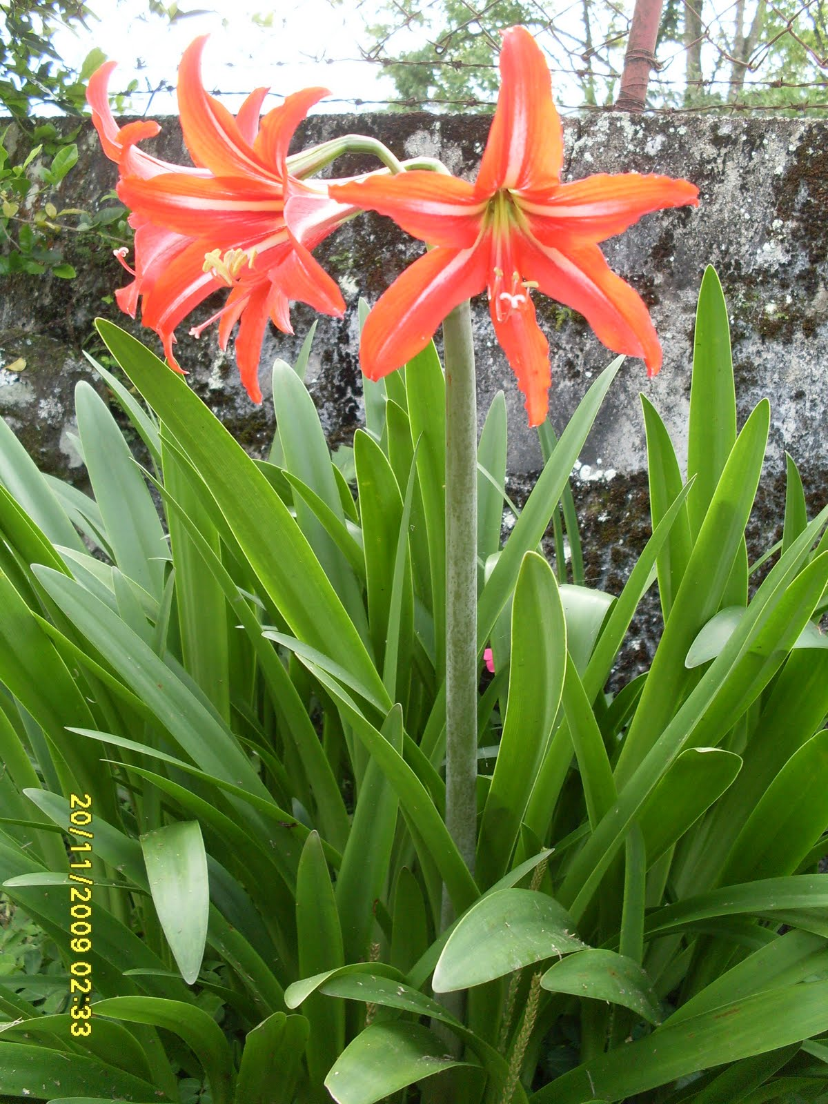 Azucena o lirios for Azucena plantas jardin