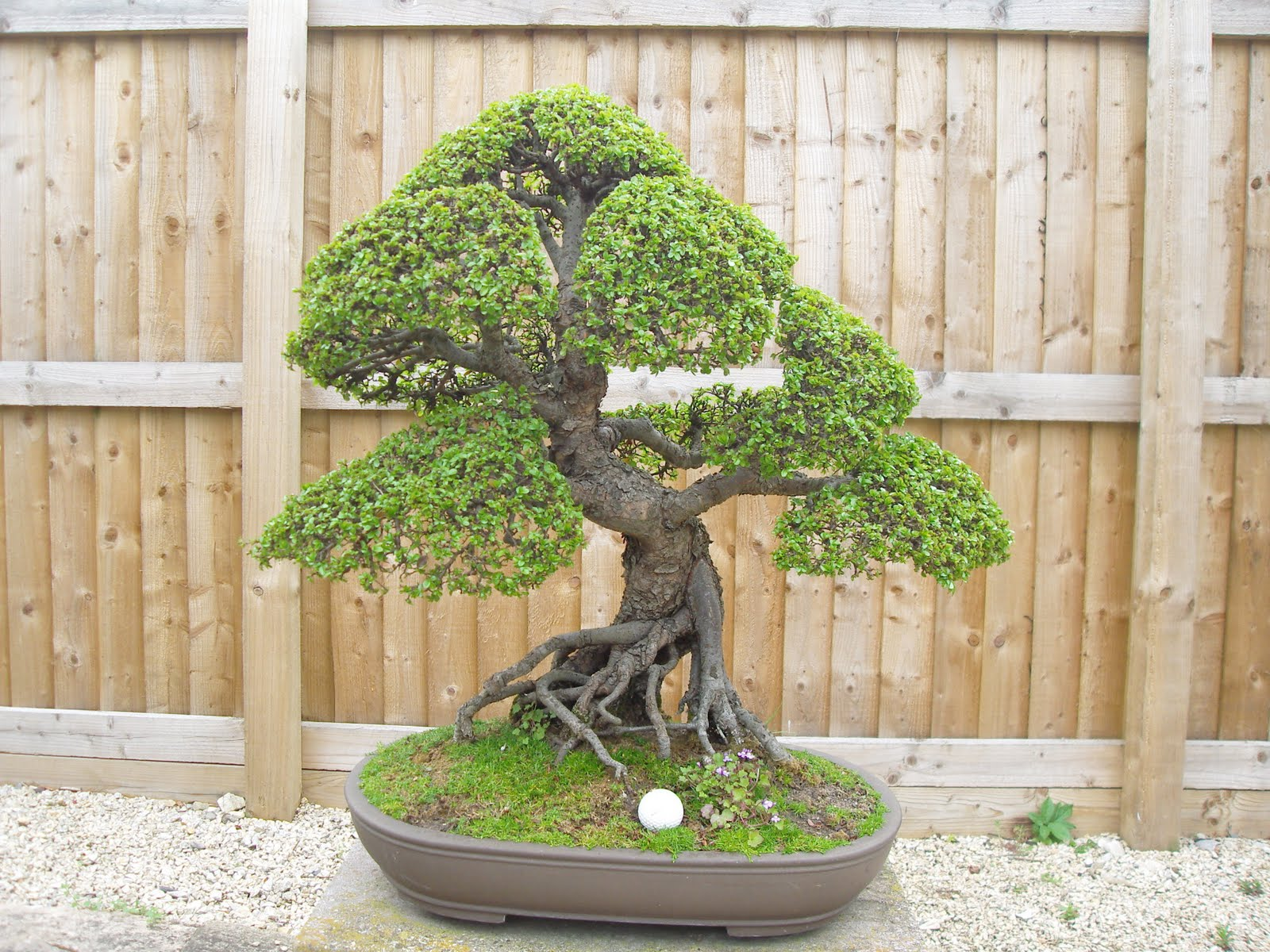 Graham39s Bonsai Chinese Elm