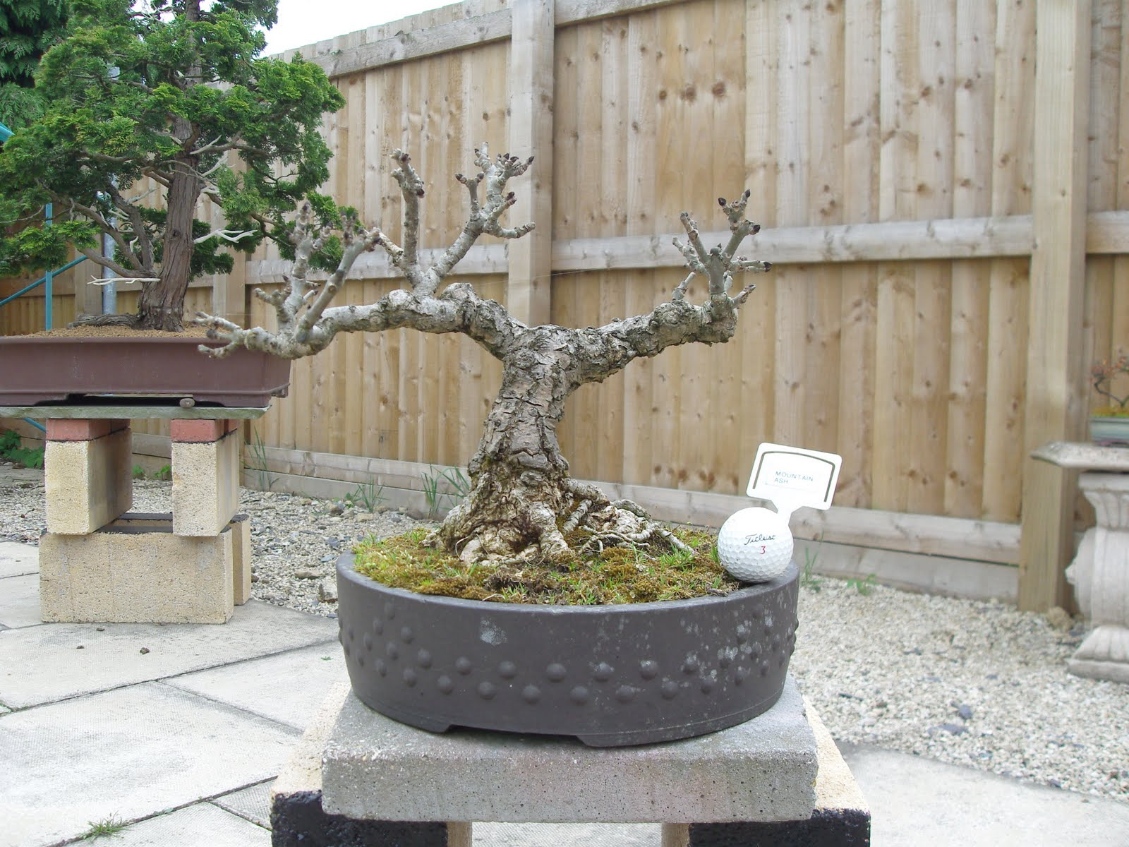 Graham39s Bonsai Mountain Ash