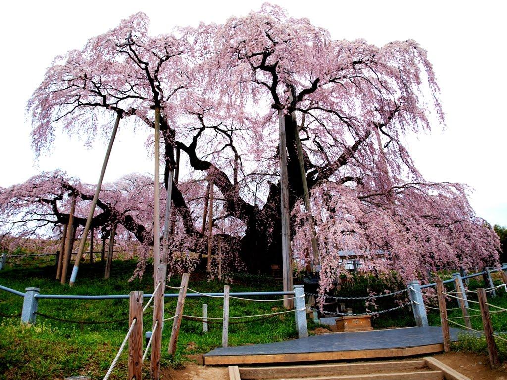 dodgyskyのブログ: 三春滝桜 skip to main   s... dodgyskyの