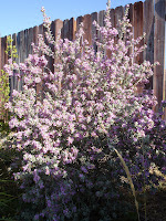 Texas-Sage-at-the-back-of-my-herb-garden-planted-three-years-ago