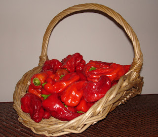 40-Cubanelle-peppers-picked-from-my-garden-today