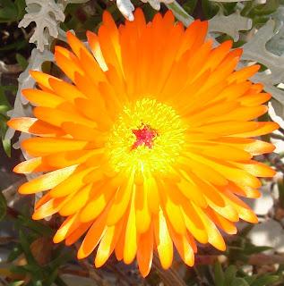 orange-ice-plant-flower